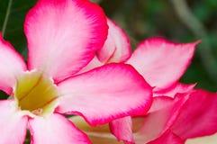 Rose de désert Photographie stock libre de droits
