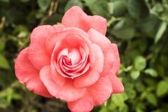 Rose de rose dans le foto de jardin Image libre de droits
