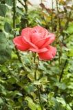 Rose de rose dans le foto de jardin Photos libres de droits