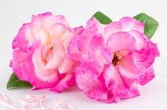 Rose de deux couleurs sur le tissu blanc Photos stock