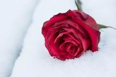Rose de flétrissement de rouge sur la neige blanche Photos libres de droits