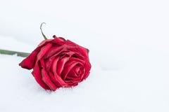 Rose de flétrissement de rouge sur la neige blanche Photographie stock