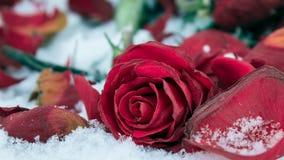 Rose de flétrissement de rouge sur la neige blanche Photo libre de droits