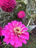Rose de fleur Image libre de droits
