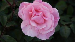 Rose de fleur photos stock