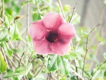 Rose de fleur au foyer Image libre de droits