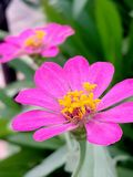 Rose de fleur de pollen Image stock