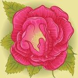 Rose de fleur de Rose Photo stock