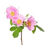 rose de fleur sauvage Photos libres de droits