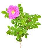 rose de fleur sauvage Images stock