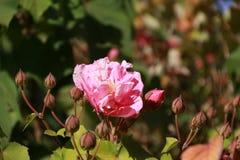Rose de rose fleurissant sur l'arbre un buisson ou un arbuste épineux qui soutiennent typiquement les fleurs parfumées rouges, ro Image libre de droits