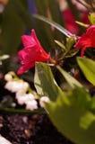Rose de rose de fleurs obscurcie Photographie stock