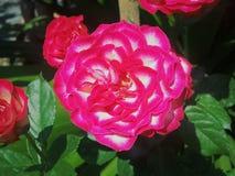 Rose de floraison Image libre de droits