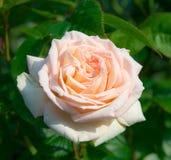 Rose rose de floraison dans le jardin un jour ensoleillé images stock