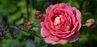 Rose rose de floraison dans le jardin un jour ensoleillé photographie stock libre de droits