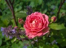 Rose rose de floraison dans le jardin un jour ensoleillé photos stock