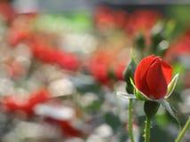 Rose de floraison de rouge dans la roseraie Photos stock