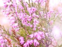 Rose de floraison Heather Cadre joyeux ensoleillé lumineux de ressort Romance en nature un tir en gros plan Foyer sélectif, broui image stock
