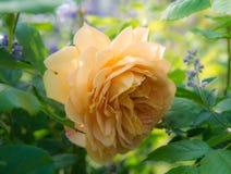 Rose de floraison de jaune dans le jardin un jour ensoleillé photos libres de droits