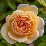 Rose de floraison de jaune dans le jardin un jour ensoleillé photo stock
