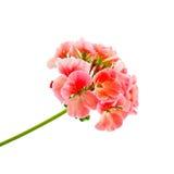 Rose de géranium Photos stock