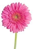 rose de gerbera Photos libres de droits