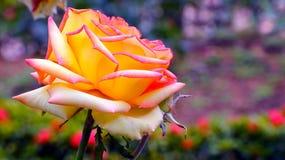 Rose de jaune Photo libre de droits