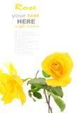 Rose de jaune Photographie stock libre de droits