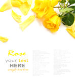 Rose de jaune Photographie stock