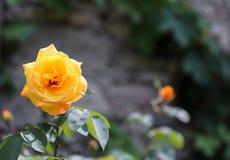 Rose de jaune avec le fond brouillé avec de grands pétales et espace image libre de droits