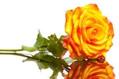 Rose de jaune d'isolement Image stock