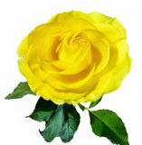 Rose de jaune d'isolement sur le blanc Photographie stock libre de droits