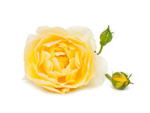 Rose de jaune d'isolement sur le blanc Photographie stock
