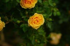 Rose de jaune dans l'obscurité Photo libre de droits