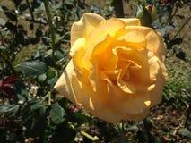 Rose de jaune dans le jardin Images libres de droits