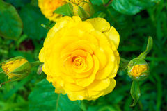 Rose de jaune dans le jardin Photo libre de droits