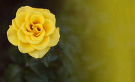 Rose de jaune dans le jardin Photo stock