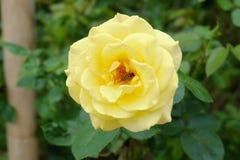 Rose de jaune dans le jardin vert Photos libres de droits