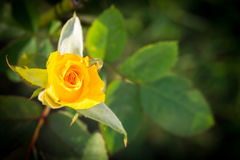 Rose de jaune dans un jardin Image libre de droits