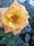 Rose de jaune orange Images libres de droits