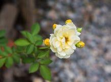 Rose de jaune sur la branche dans le jardin Photographie stock libre de droits