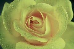 Rose de jaune sur le fond blanc Photo stock