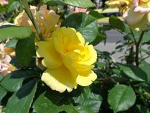 Rose de jaune sur le parterre image libre de droits