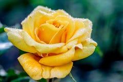 Rose de jaune sur un fond foncé avec des baisses de rosée dans le morning_ image libre de droits