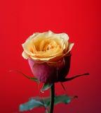 Rose de jaune sur un fond rouge Image libre de droits
