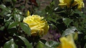 Rose de jaune sur une branche parmi des feuilles Photographie stock libre de droits