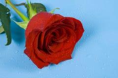Rose de l'amour avec des baisses Photos stock
