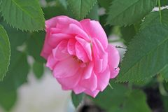 Rose de la fleur A de Rose la belle fleurit sur un fond des feuilles vertes Humeur de source photographie stock libre de droits