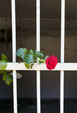 Rose de la liberté Images stock