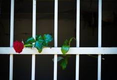 Rose de la liberté Photo libre de droits